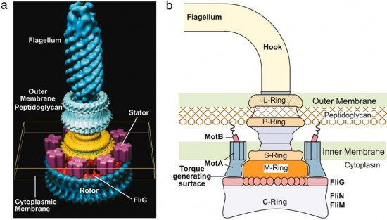 How a rotating flagellum anchors to the cell wall. Credit: David DeRosie